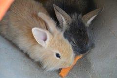 O coelho dois fotografia de stock