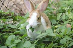 O coelho está comendo as folhas verdes Fotografia de Stock