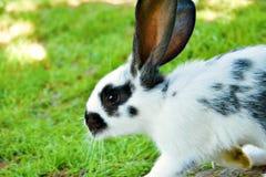 O coelho manchado shooted quando estava correndo fotografia de stock royalty free