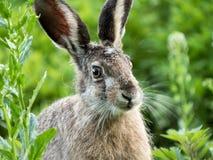 O coelho novo Foto de Stock