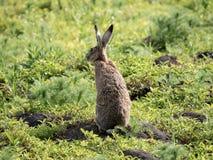 O coelho novo Fotografia de Stock Royalty Free