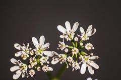 O coentro branco floresce o fundo preto 1 do ona Imagens de Stock Royalty Free