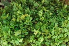 O coentro verde fresco sae do montão Imagem de Stock