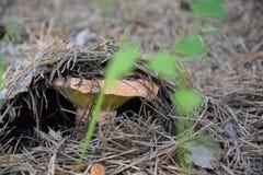 O cogumelo é chamado em Rússia 'vermelho ` fotografia de stock royalty free