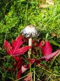 O cogumelo de Shaggy Mane na grama com queda vermelha sae foto de stock