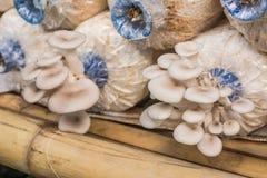O cogumelo do sajor-caju do Pleurotus cresce acima em uma exploração agrícola Imagem de Stock Royalty Free
