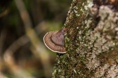 O cogumelo selvagem enganchado à casca da árvore imagem de stock royalty free