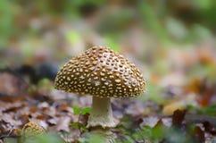 O cogumelo venenoso com um chapéu marrom nos salpicos brancos cresce na floresta imagens de stock