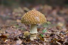O cogumelo venenoso com um chapéu vermelho nos salpicos brancos cresce na floresta fotos de stock