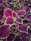 O Coleus sae da planta decorativa Fotos de Stock
