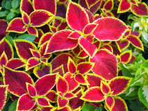 O Coleus vermelho planta o close up Foto de Stock
