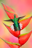 O colibri Branco-atou o voo de Sabrewing ao lado da flor bonita do vermelho do Strelitzia Cena dos animais selvagens do bi bonito Fotografia de Stock