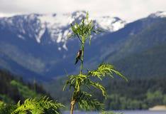 O colibri de Anna Fotos de Stock Royalty Free
