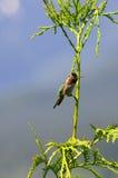 O colibri de Anna Imagens de Stock