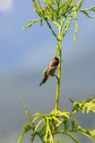 O colibri de Anna Foto de Stock Royalty Free