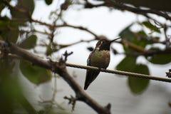 O colibri de Anna em um ramo imagem de stock royalty free