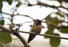 O colibri de Anna em um ramo imagens de stock royalty free