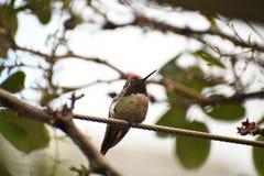 O colibri de Anna em um ramo fotos de stock royalty free