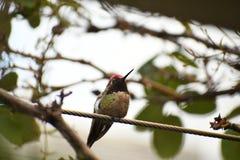 O colibri de Anna em um ramo fotografia de stock royalty free
