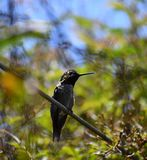 O colibri de Anna em um ramo imagens de stock