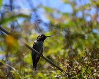 O colibri de Anna em um ramo fotografia de stock