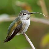 O colibri de Anna fêmea Imagem de Stock Royalty Free