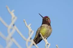 O colibri de Anna em uma cerca Fotos de Stock Royalty Free