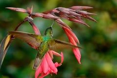 O colibri magnífico, fulgens de Eugenes, colibri agradável, voando ao lado da flor vermelha bonita com sibilo floresce no backgro Imagens de Stock