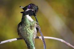 O colibri no ramo que limpa o é asas Imagens de Stock