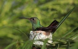 o colibri Rufous-atado que senta-se nele é ninho fotos de stock