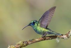 O colibri verde de Violetear empoleirou-se no ramo em Costa Rica Imagem de Stock Royalty Free