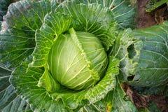 O Collard no jardim da casa é crescido sem o uso dos produtos químicos fotos de stock