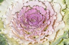 O colorido da couve no tempo frio Fotografia de Stock