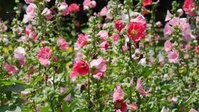 O colorido das malvas rosas na temporada de verão no jardim vídeos de arquivo