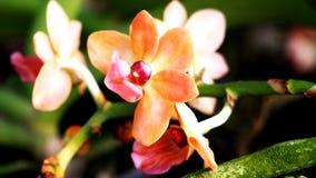O começo da flor alaranjada Imagens de Stock Royalty Free