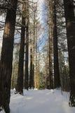O começo da mola na floresta Imagem de Stock Royalty Free