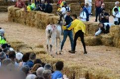 O começo da trufa justa em alba (Cuneo), foi guardado por mais de 50 anos, a raça do asno Fotografia de Stock