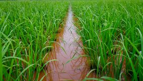 O começo do arroz verde Fotografia de Stock Royalty Free