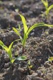 O começo da colheita do milho Fotos de Stock Royalty Free