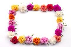 O conceito arranja a flor de Portulaca ao retângulo dado forma fotografia de stock royalty free