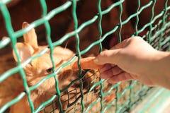 O conceito da natureza Tiro colhido de um coelho que alimenta uma cenoura imagens de stock