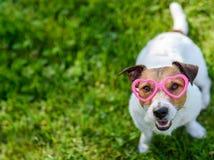 O conceito do dia de Valentim com coração vestindo do cão deu forma aos vidros que olham acima na câmera fotografia de stock royalty free