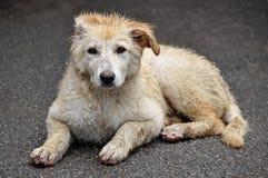 O conceito dos animais desabrigados, do abrigo ou da clínica veterinária - um cão doente abandonado, como um Labrador que enco imagem de stock royalty free