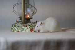 O conceito está morno Rato branco na tabela Rato branco fotografia de stock royalty free