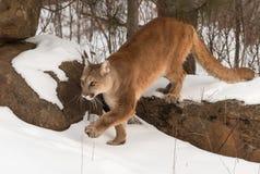 O concolor do puma do puma da fêmea adulta pisa fora da rocha Imagem de Stock Royalty Free
