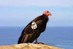 O Condor de Califórnia psto em perigo imagens de stock