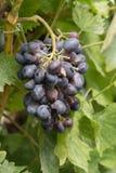 O conjunto da uva Foto de Stock