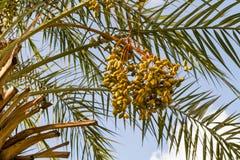 O conjunto de data frutifica, frutos da palma de data foto de stock