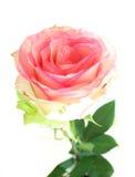 O cor-de-rosa levantou-se no fundo branco Imagens de Stock Royalty Free
