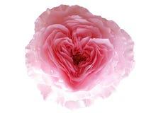 O coração aumentou, a flor do dia de são valentim Fotos de Stock Royalty Free